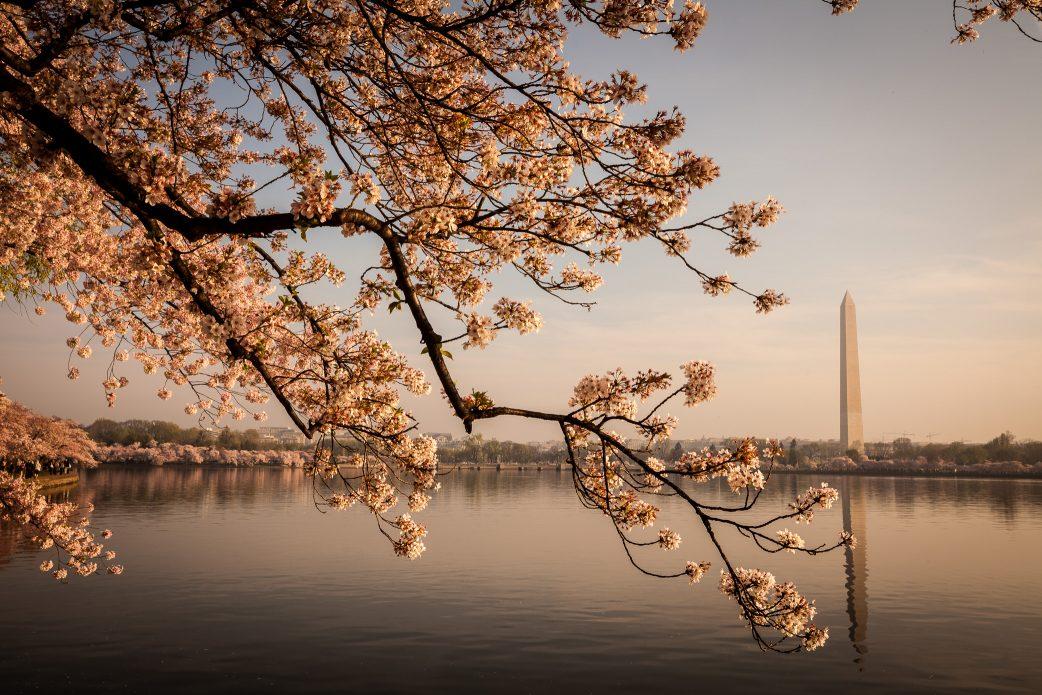 Cherry blossoms, Tidal Basin, Washington Monument