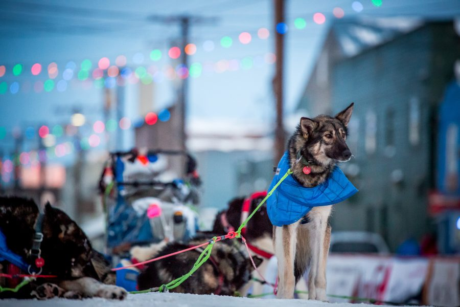 Sled dogs pause at Nome finish line, with city buildings and lights behind them
